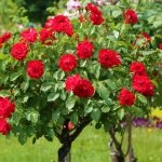 red-roses-rose-tree-1112942